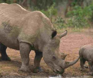 New Initiative of the Trivandra Government: Rhinos will be brought to the Corbett Park to lure Tourists.