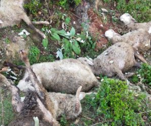 A Dozen Goats Died Due to Thunderbolt in Hindow,Tehri Garhwal.