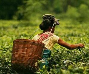 The tea gardens of Dehradun will now be infused with tea from Assam.