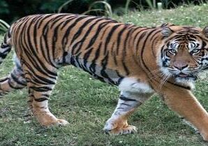 Tiger Reserve: Grassland and water resources to be developed afresh…
