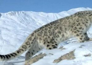 Now, Drone cameras will count snow leopards.