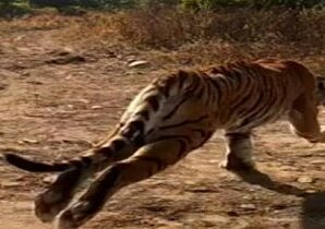 The Motichur range of Rajaji Tiger Reserve has been closed to tourists till further orders.