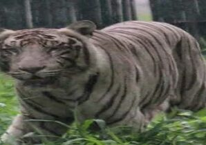 Now tourists will be able to see the white tiger in Corbett National Park.